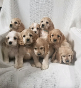 Cocker Spaniel Puppies - Ready to go! Only three left!