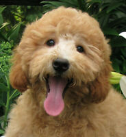 Tiny English Goldendoodle Puppies
