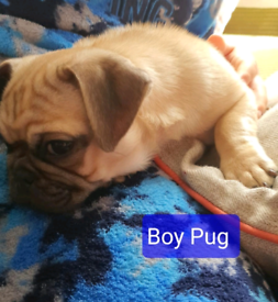 Pug puppy 5 months old