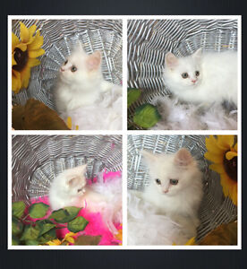 DOLL FACE LONG HAIRED WHITE PERSIAN & HIMALAYAN KITTENS