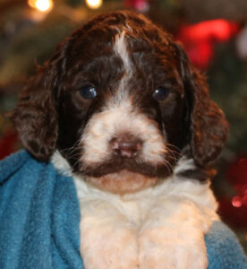 Lovely little Australian Labradoodle Puppies for Sale