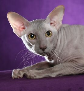 HAIRLESS RUSSIAN PETERBALD LILAC N/M CHAMPION REHOME