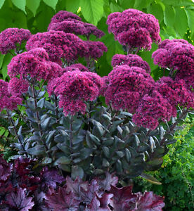 PERENNIALS-buy from a local grower-ALWAYS SAVE THE TAX Kawartha Lakes Peterborough Area image 9