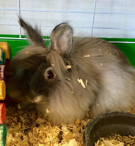 **SALE**  Baby bunnies, male and female. Lop, lionhead and dwarf