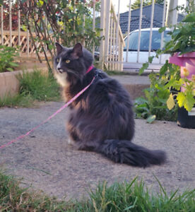 Lost fluffy grey cat