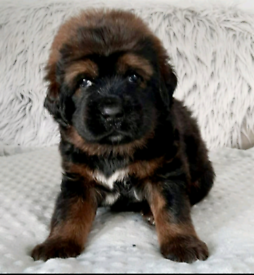 FCI Reg Top Pedigree Tibetan Chinese Mastiff Puppies