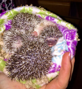Hedgehog Babies - Pedigreed/Registered Breeder