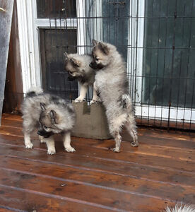 American Eskimo x Keeshond Puppies looking for you Strathcona County Edmonton Area image 2