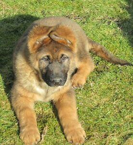 Registered German Shepherd Pups