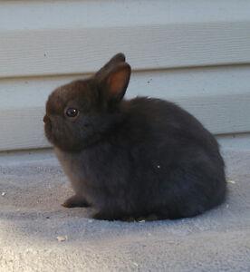 Purebred Netherland dwarf bunnies