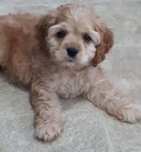 Cocker spaniel male puppy
