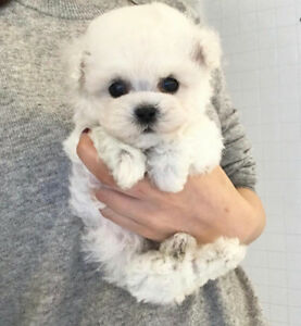Top Quality!beautiful tiny bichon frise puppies