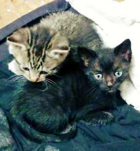 Black and tabby kittens