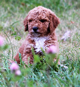 Medium F1b Goldendoodle Puppies for Sale