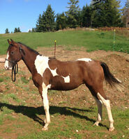 reg. curly horse yearling