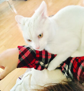 """turkish angora"""" in cats, kittens for rehoming in Ontario"""