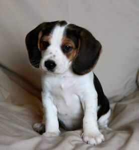 Beagle puppies - SOLD pending pick up