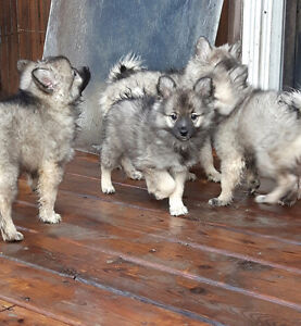American Eskimo x Keeshond Puppies looking for you Strathcona County Edmonton Area image 1