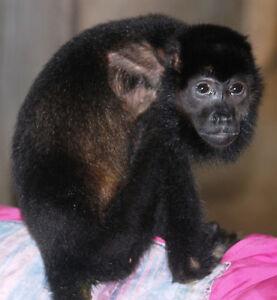 SPEND A MONTH WITH MONKEYS!! Prince George British Columbia image 5