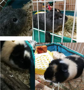 Two male Guinea Pigs + Accessories