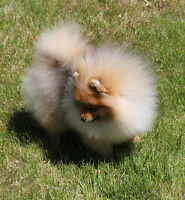 Pomeranian puppy. CKC registered Very Small  male