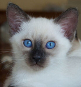 Siamese beautys looking for their permanent residences