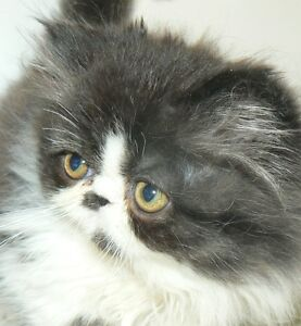 PRETTY LIL REGISTERED PERSIANS Kitchener / Waterloo Kitchener Area image 1