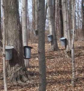 Looking for sugar bush for rent or for sale