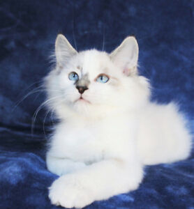 Beautiful Ragdoll Kittens are Available for Rehoming