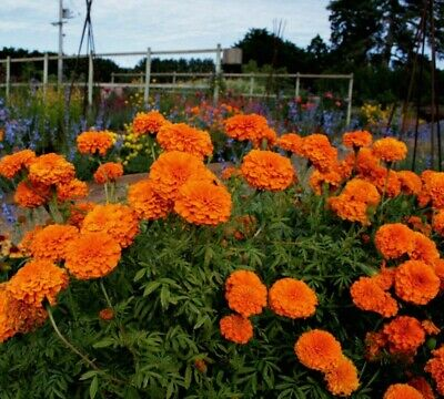 Giant Orange Crackerjack Marigolds - 25 Seeds Comb.S/H SEE OUR STORE! - Giant Comb