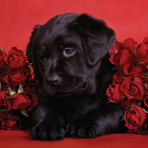 Valentines-Day-Card-Husband-Wife-Boyfriend-Girlfriend-Partner-Roses-Dog-Hearts