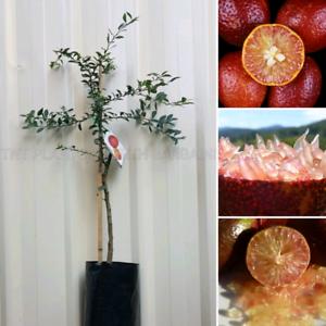 Hybrid Finger Limes AKA Australian Red Centre Blood Limes Plants