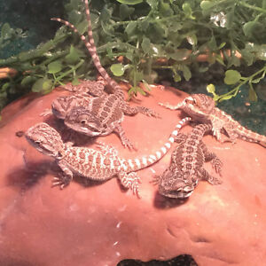 Young bearded dragons