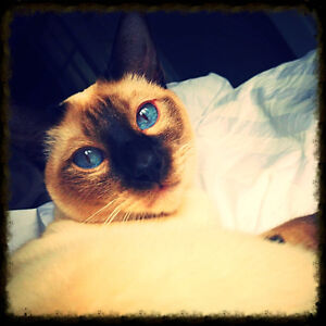 J ai perdu mon chat  siamois