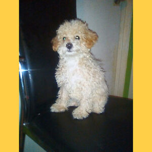 Adorable female Toy Poodle For Sale