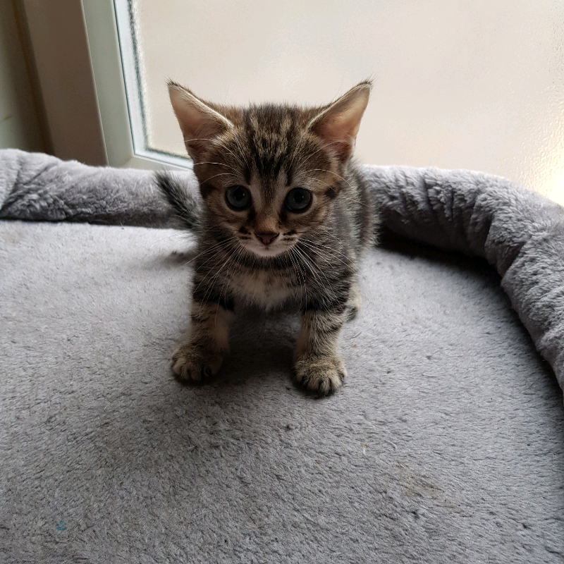 Kitten For Sale In Doncaster South Yorkshire Gumtree