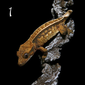 CRESTED GECKOS AVAILABLE