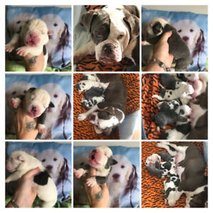 Females and male puppies  587-990-9109