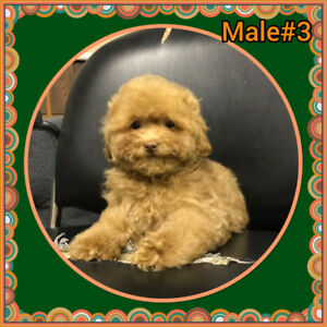 Caniche toy (poodle)