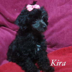 TOY POODLE PUPS , SO CUTE AND SO SWEET , AND SO OUT GOING  !!