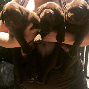 CKC registered Chocolate Labrador puppies