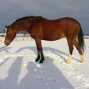 2008 large pony project for sale