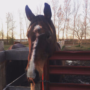 Sport horse gelding (companion OR reputable training home) Cambridge Kitchener Area image 1