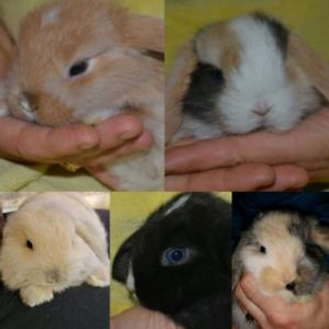 Mini and holland lop bunny rabbits