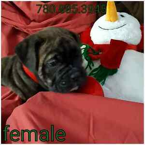 Old English Bulldog Puppies, Hermes Bloodline