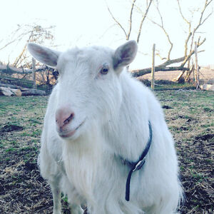 Two pet goats
