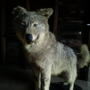 Several Taxidermy Items Stuffed/Mounted/Trophy/Man Cave