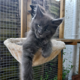 Maine Coon Kitten - Male - Solid Blue