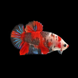 Koi HMPK male, Imported from Thailand