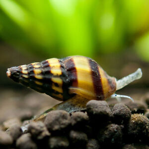 Assassin Snails (Clea helena) $2